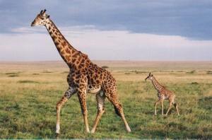 giraffe-totem-300x198